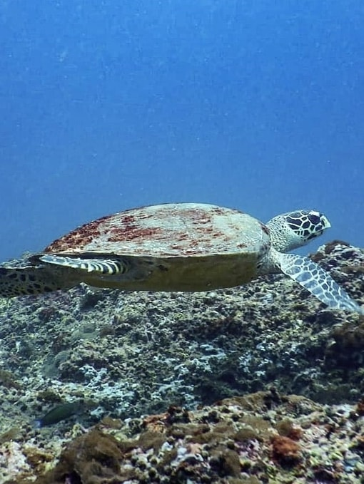 Hawksbill Sea Turtle seen diving in Krabi